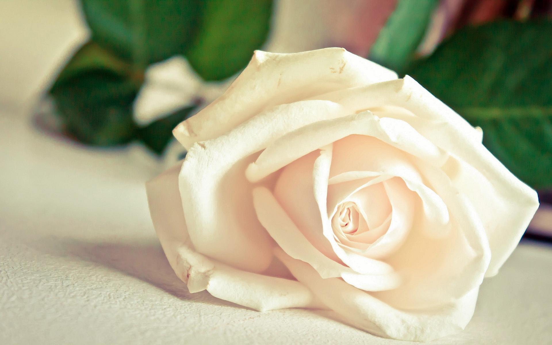 6991270-white-rose-hd