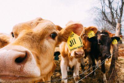餵牛羊吃海藻,有助改善全球暖化?