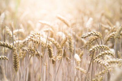 熱浪乾旱侵襲 全球小麥產量恐創六年來新低